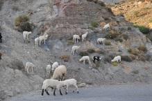 Grek koyunları