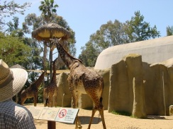 Hayvanat bahçesinde zürafalar