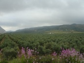 Antequera civarında zeytin ağaçları