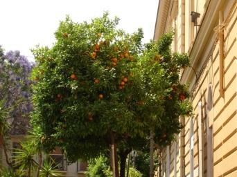 Portakal ağacı