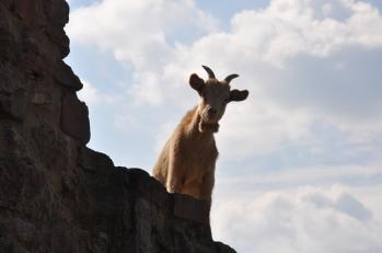 Kalenin surlarında keçiler
